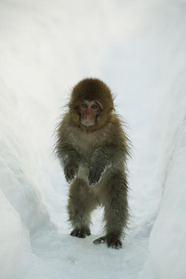 Japanese Macaque - Snow Monkey (Macaca Fuscata) 8-Month-Old Monkey Walking Through Thick Snow-Yukihiro Fukuda-Photographic Print