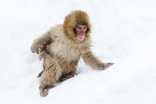 Japanese Macaque (Snow Monkey) (Macata Fuscata), Japan-Andrew Sproule-Photographic Print