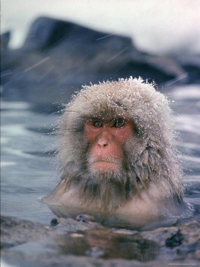 Japanese Macaque, Snow Monkey Sitting in Waters of Hot Spring in Shiga Mountains During a Snowfall-Co Rentmeester-Photographic Print