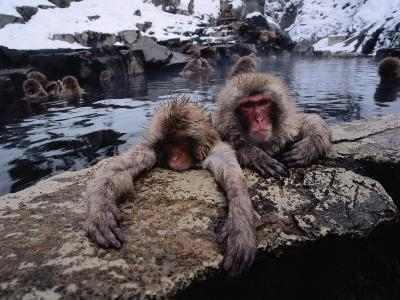 Japanese Macaque/Snow Monkeys are Submersed in Water While Clinging to Rocks-Jeff Foott-Photographic Print