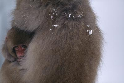 Japanese Macaque with Baby-DLILLC-Photographic Print