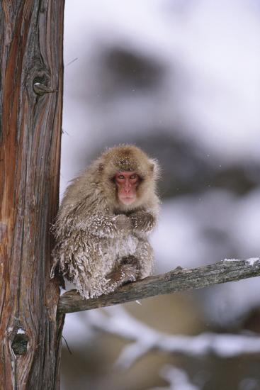 Japanese Macaque-DLILLC-Photographic Print