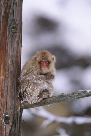 https://imgc.artprintimages.com/img/print/japanese-macaque_u-l-pzriqf0.jpg?p=0