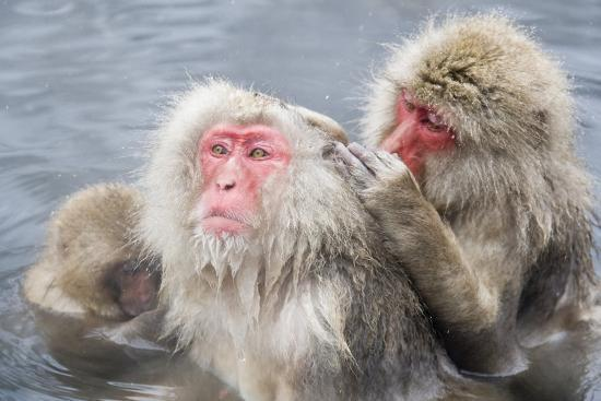 Japanese Macaques in Hot Spring-Frank Lukasseck-Photographic Print