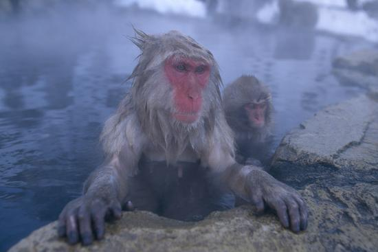 Japanese Macaques in Hot Spring-DLILLC-Photographic Print