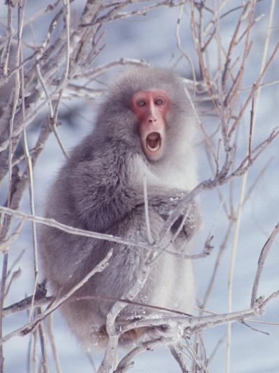 Japanese Macaques in Shiga Mountains of Japan-Co Rentmeester-Photographic Print