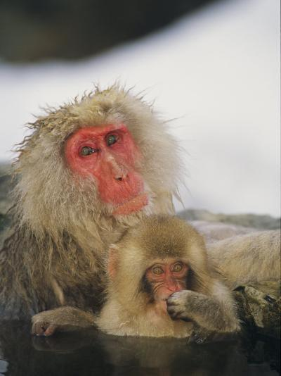 Japanese Macaques (Macaca Fuscata), Mother and Baby, Jigokudani, Japan-Roy Toft-Photographic Print