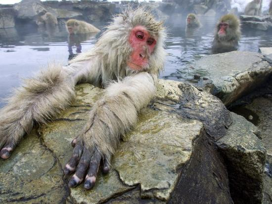 Japanese Macaques or Snow Monkeys, Adult in Foreground with Arms Extended on Rock, Honshu, Japan-Roy Toft-Photographic Print