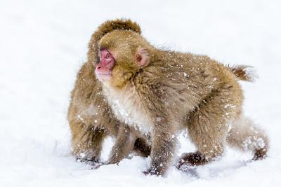 Japanese Macaques (Snow Monkeys) (Macata Fuscata), Japan-Andrew Sproule-Photographic Print