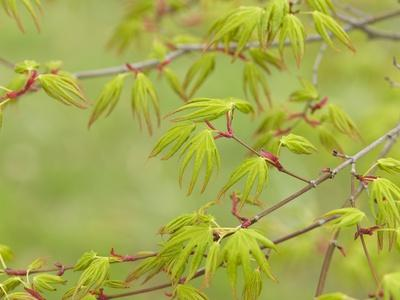 Japanese Maple (Acer Palmatum)-Adrian Bicker-Photographic Print