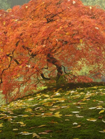 Japanese Maple at the Portland Japanese Garden, Oregon, USA-William Sutton-Photographic Print