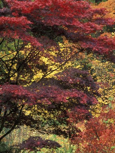 Japanese Maple at University of Washington Arboretum, Seattle, Washington, USA-William Sutton-Photographic Print