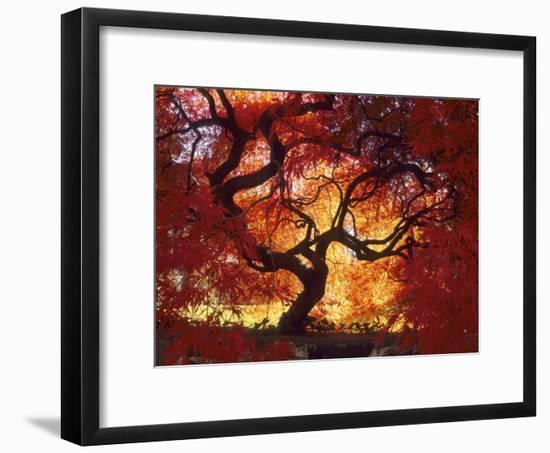 Japanese Maple, Darien, Connecticut, USA-Alison Jones-Framed Photographic Print
