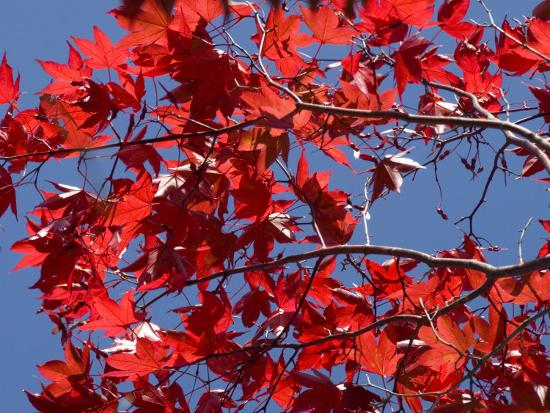 Japanese Maple in Autumn, Akan National Park, Hokkaido, Japan-Tony Waltham-Photographic Print