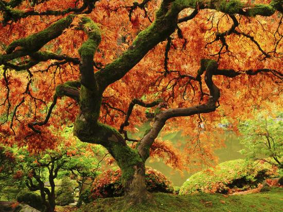 Japanese Maple in Full Fall Color, Portland Japanese Garden, Portland, Oregon, USA-Michel Hersen-Photographic Print