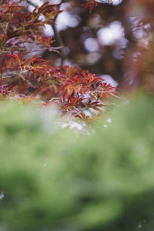 https://imgc.artprintimages.com/img/print/japanese-maple-in-the-botanical-garden-in-bielefeld-in-summer_u-l-q1ezgac0.jpg?p=0