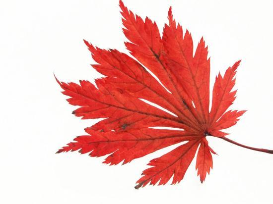 Japanese Maple Leaf in Autumn Colours-Petra Wegner-Photographic Print