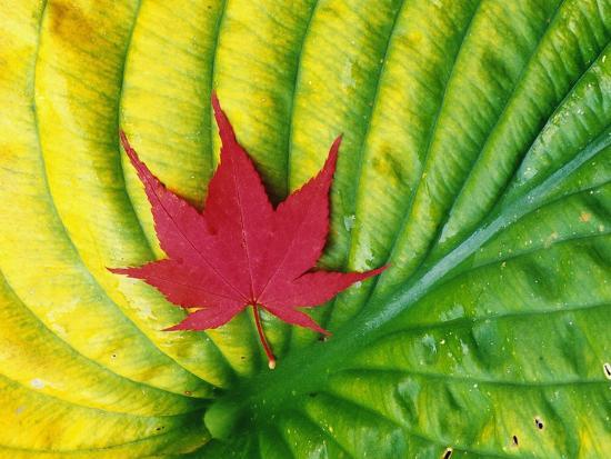 Japanese Maple Leaf on a Hosta Leaf-Darrell Gulin-Photographic Print