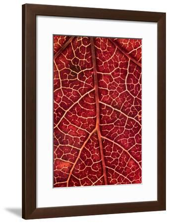 Japanese Maple Leaf-William Neill-Framed Giclee Print