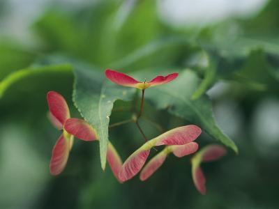 Japanese Maple Leaves and Fruit-Darlyne A^ Murawski-Photographic Print