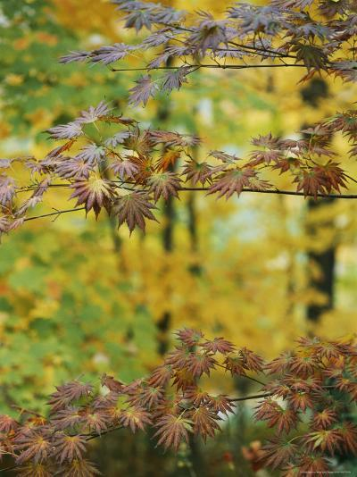 Japanese Maple Leaves Change Colors in the Fall-Darlyne A^ Murawski-Photographic Print