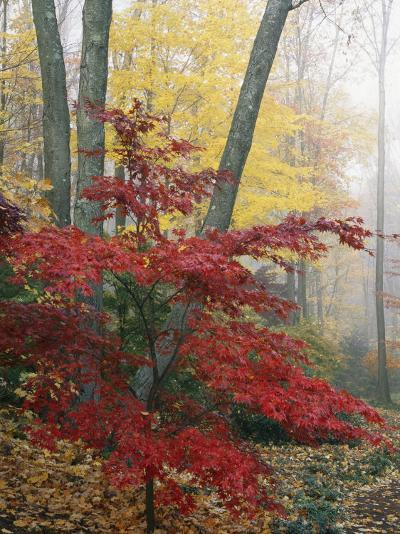 Japanese Maple Leaves in the Fall-Darlyne A^ Murawski-Photographic Print