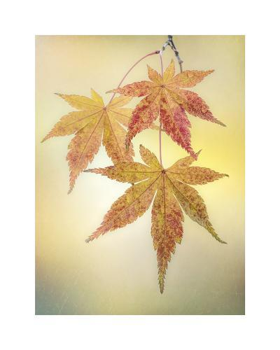 Japanese Maple Leaves-Don Paulson-Giclee Print