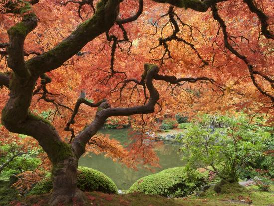 Japanese Maple, Portland Japanese Garden, Oregon, USA-William Sutton-Photographic Print