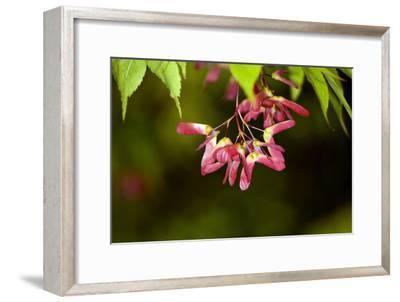 Japanese Maple Seeds-Dr. Keith Wheeler-Framed Photographic Print