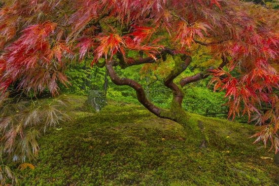 Japanese Maple Tree in Autumn, Japanese Gardens, Portland, Oregon-Chuck Haney-Photographic Print