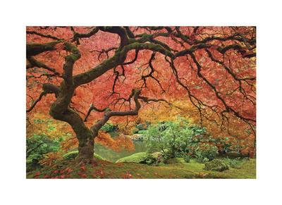 Japanese Maple Tree-Donald Paulson-Giclee Print