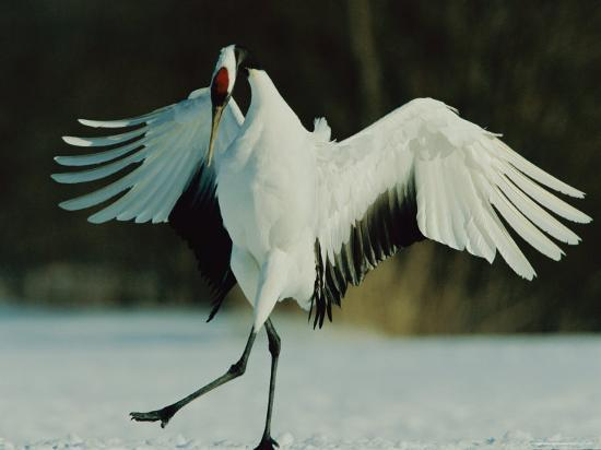 Japanese or Red-Crowned Crane Displays Itself-Tim Laman-Photographic Print