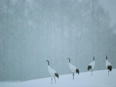 Japanese or Red-Crowned Cranes at the Tsiurui-Ito Crane Sancturary-Tim Laman-Photographic Print