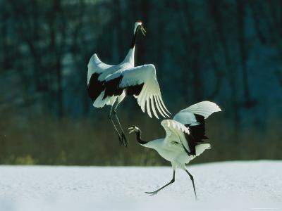 Japanese or Red-Crowned Cranes Engage in a Courtship Display-Tim Laman-Photographic Print