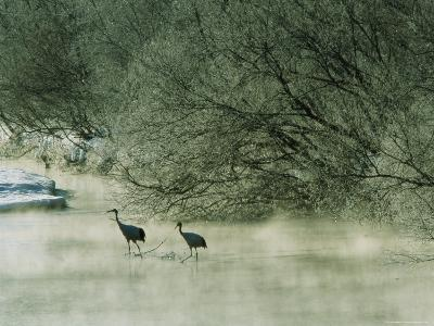 Japanese or Red-Crowned Cranes Wade Through Mist Rising on a River-Tim Laman-Photographic Print