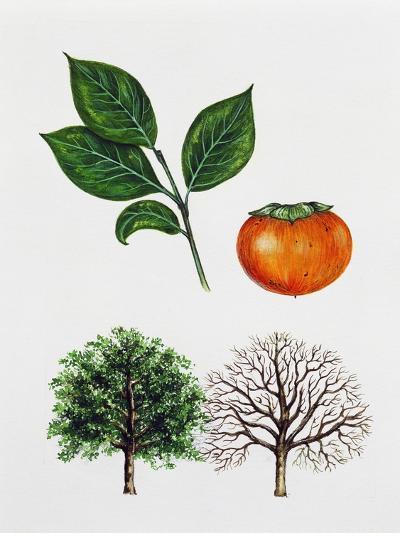 Japanese Persimmon--Giclee Print