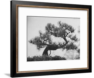 Japanese Pine Trees, Dwarfed and Shaped in Japanese Fashion, at Brooklyn Botanic Garden-Gordon Parks-Framed Premium Photographic Print