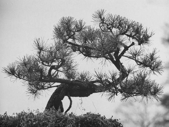Japanese Pine Trees, Dwarfed and Shaped in Japanese Fashion, at Brooklyn Botanic Garden-Gordon Parks-Photographic Print