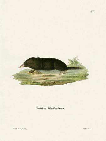 https://imgc.artprintimages.com/img/print/japanese-shrew-mole_u-l-pvqh3h0.jpg?p=0