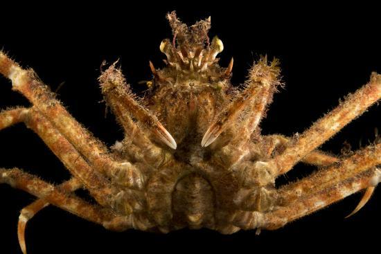 Japanese spider crab, Macrocheira kaempferi, at the Aquarium of the Pacific.-Joel Sartore-Photographic Print