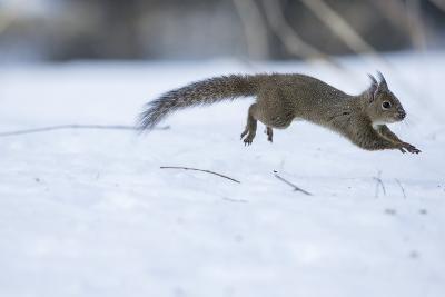 Japanese Squirrel (Sciurus Lis) Running After An Female In Oestrus In The Snow-Yukihiro Fukuda-Photographic Print