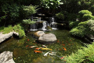 Japanese Variegated Carps Swimming in Garden Pond-eskay lim-Photographic Print