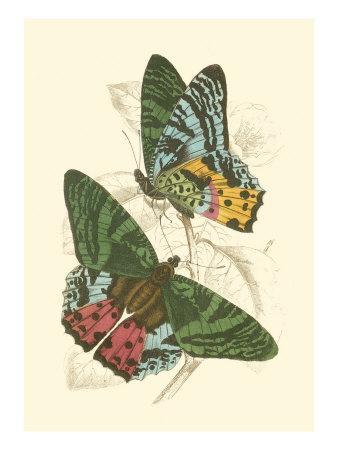 https://imgc.artprintimages.com/img/print/jardine-butterflies-iii_u-l-q11anqw0.jpg?p=0