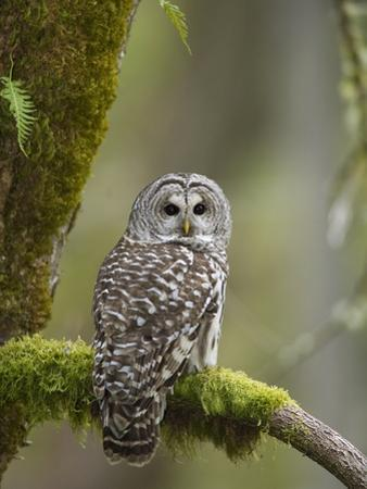Barred Owl Perched on Mossy Branch, Victoria, Vancouver Island, British Columbia, Canada. by Jared Hobbs