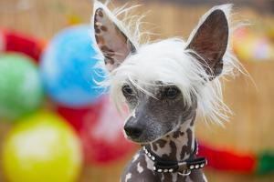 Portrait of Chinese Crested Dog - Copy Space by Jaromir Chalabala