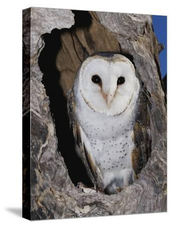 A Barn Owl in its Roost in a Hollow Tree
