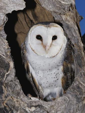 A Barn Owl in its Roost in a Hollow Tree by Jason Edwards