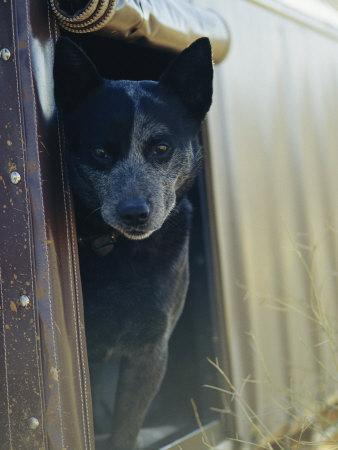 A Blue Heeler Cattle Dog Peers out of the Window of a Truck