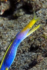 A Blue Ribbon Eel, Rhinomuraena Quaesita, in its Burrow Below a Reef by Jason Edwards