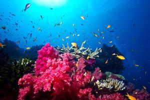 A Branching Pink Carnation Coral Swarming with Colorful Reef Fish by Jason Edwards
